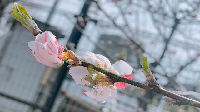 春の訪れを告げる桜のつぼみ