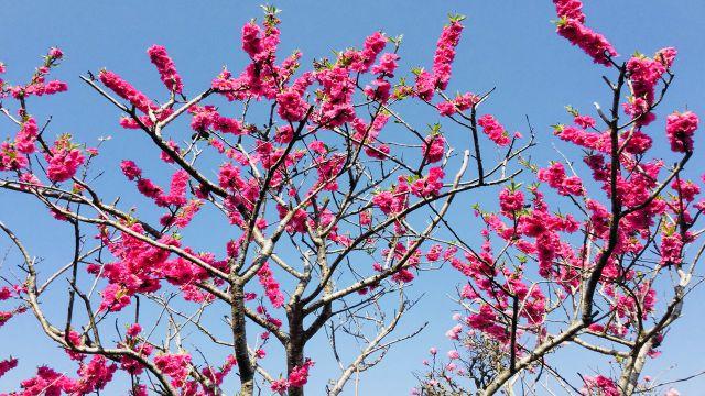 春の訪れを告げる桜