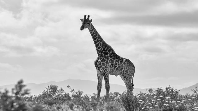 キリン(Giraffe)